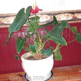 Anthurium , Lipstick Plant, or Flamingo Flower in a ceramic pot