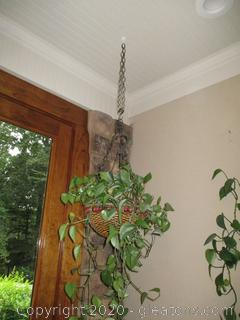 Hanging Wicker Basket of Philodendron