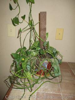 Ivy in Small Wicker Basket