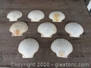 8 Extra Large Scallop Shells [ Around 6 inches tall 6 1/2 inches Wide ]