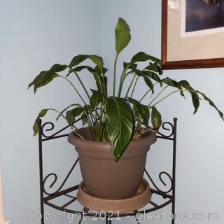 Living Peace Lily