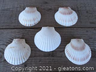Lot of Five   4 1/2 inches Scallop Shells