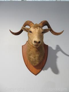 Majestic Ram's Head Taxidermy