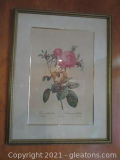 Beautiful Rosa Centifolia Foliacea Framed Picture