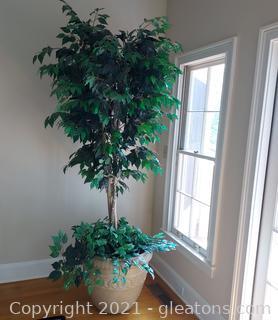 Oversized Ficus Tree in Planter