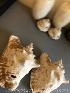 Large Conch Shells