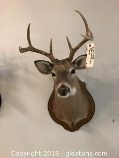 Beautiful Mount of Whitetail 8 Point Buck