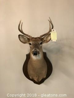 Great Mount of 8 Point Whitetail Buck